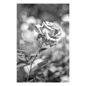 "Foto Poster oder Leinwandild ""Rose in graustufen"""