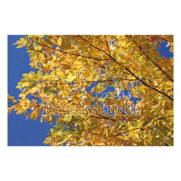 Baum im Herbst mit goldenen Blättern