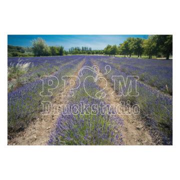 Blühende Lavendelfeld in der Bretagne.