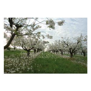 Baum in der Blühte im Frühlig