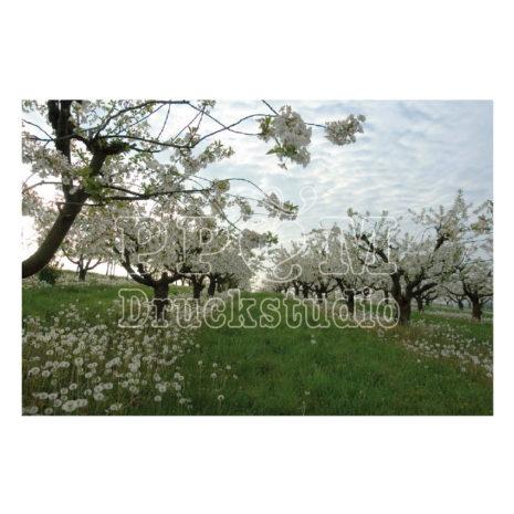 Baum in der Blüte im Frühling