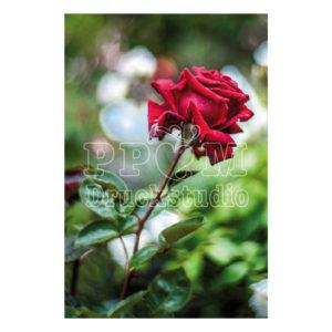 Fotografie einer roten Rose. Eine Rose die niemals verblüht.