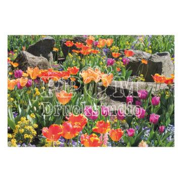 Tulpen aus Amsterdam in Koblenz